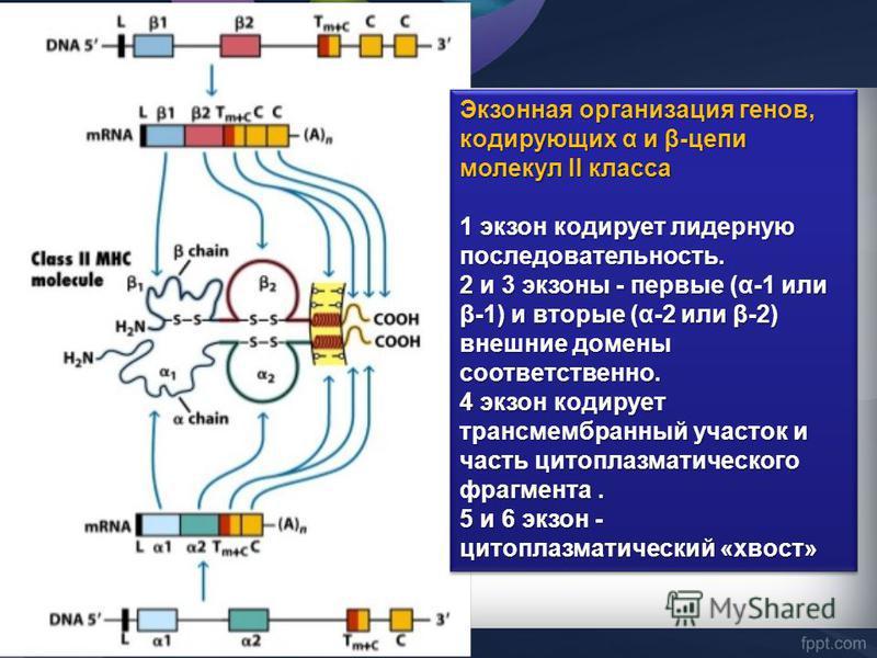 Экзонная организация генов, кодирующих α и β-цепи молекул II класса 1 экзон кодирует лидерную последовательность. 2 и 3 экзоны - первые (α-1 или β-1) и вторые (α-2 или β-2) внешние домены соответственно. 4 экзон кодирует трансмембранный участок и час