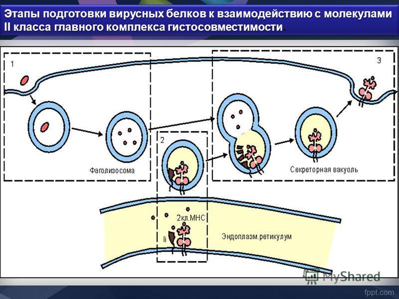 Этапы подготовки вирусных белков к взаимодействию с молекулами II класса главного комплекса гистосовместимости Этапы подготовки вирусных белков к взаимодействию с молекулами II класса главного комплекса гистосовместимости.