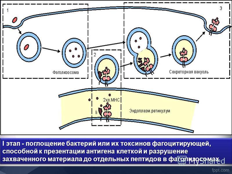 I этап - поглощение бактерий или их токсинов фагоцитирующей, способной к презентации антигена клеткой и разрушение захваченного материала до отдельных пептидов в фаголизосомах I этап - поглощение бактерий или их токсинов фагоцитирующей, способной к п