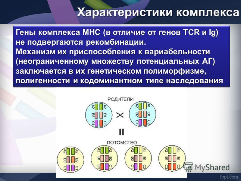 Гены комплекса MHC (в отличие от генов TCR и Ig) не подвергаются рекомбинации. Механизм их приспособления к вариабельности (неограниченному множеству потенциальных АГ) заключается в их генетическом полиморфизме, полигенности и кодоминантном типе насл