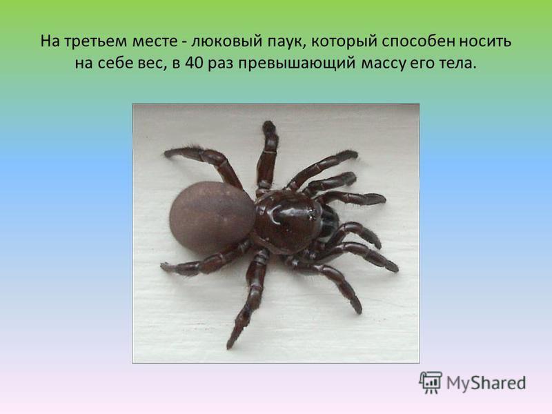 На третьем месте - люковый паук, который способен носить на себе вес, в 40 раз превышающий массу его тела.