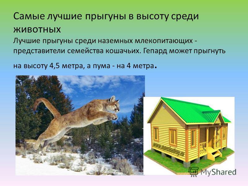 Самые лучшие прыгуны в высоту среди животных Лучшие прыгуны среди наземных млекопитающих - представители семейства кошачьих. Гепард может прыгнуть на высоту 4,5 метра, а пума - на 4 метра.