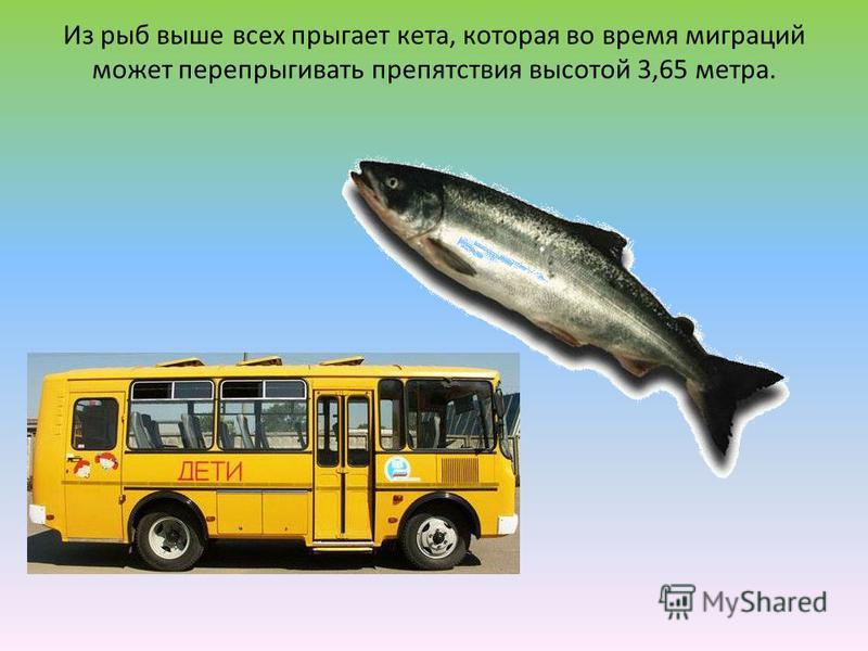 Из рыб выше всех прыгает кета, которая во время миграций может перепрыгивать препятствия высотой 3,65 метра.