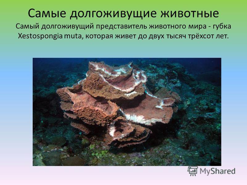 Самые долгоживущие животные Самый долгоживущий представитель животного мира - губка Xestospongia muta, которая живет до двух тысяч трёхсот лет.