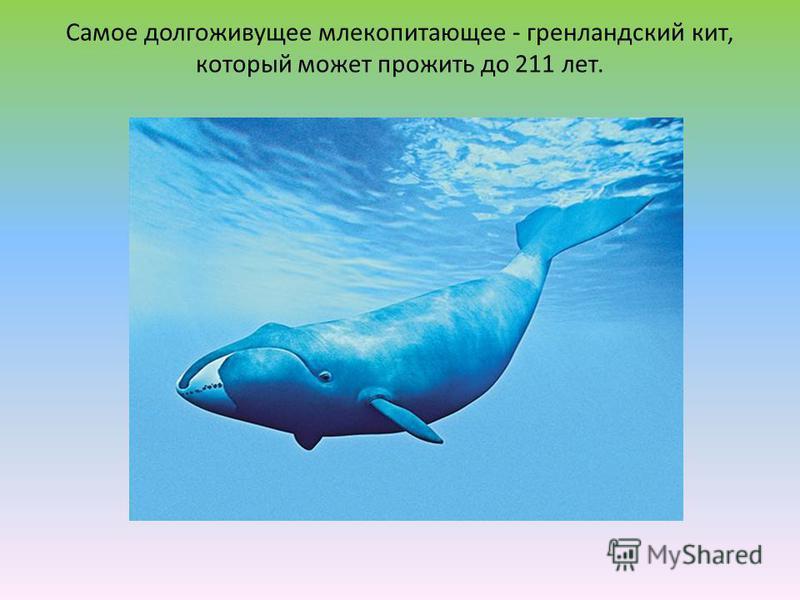 Самое долгоживущее млекопитающее - гренландский кит, который может прожить до 211 лет.