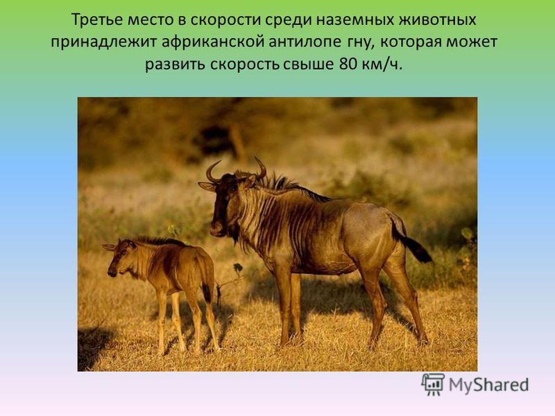 Третье место в скорости среди наземных животных принадлежит африканской антилопе гну, которая может развить скорость свыше 80 км/ч.