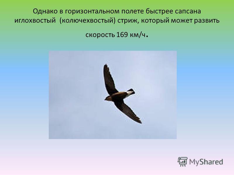 Однако в горизонтальном полете быстрее сапсана иглохвостый (колючехвостый) стриж, который может развить скорость 169 км/ч.