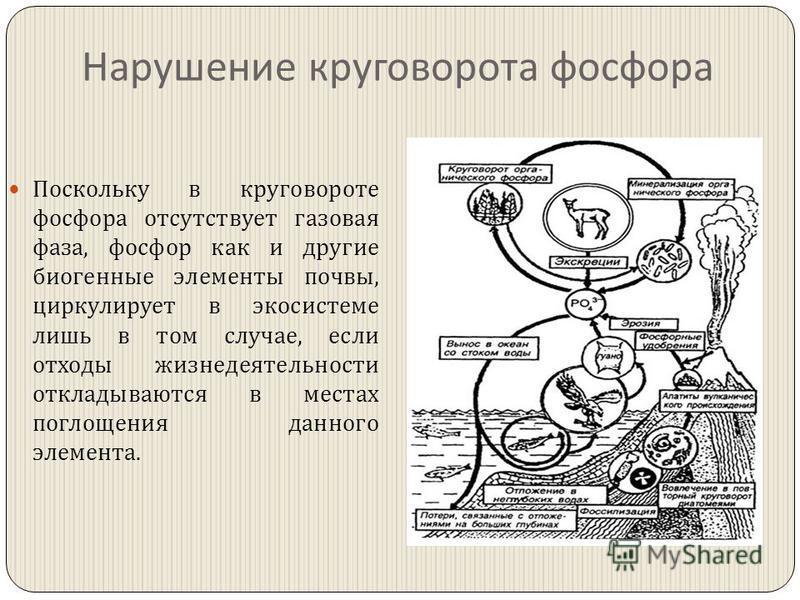 Нарушение круговорота фосфора Поскольку в круговороте фосфора отсутствует газовая фаза, фосфор как и другие биогенные элементы почвы, циркулирует в экосистеме лишь в том случае, если отходы жизнедеятельности откладываются в местах поглощения данного