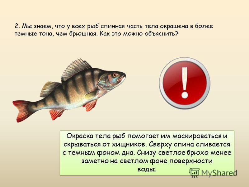 2. Мы знаем, что у всех рыб спинная часть тела окрашена в более темные тона, чем брюшная. Как это можно объяснить? Окраска тела рыб помогает им маскироваться и скрываться от хищников. Сверху спина сливается с темным фоном дна. Снизу светлое брюхо мен