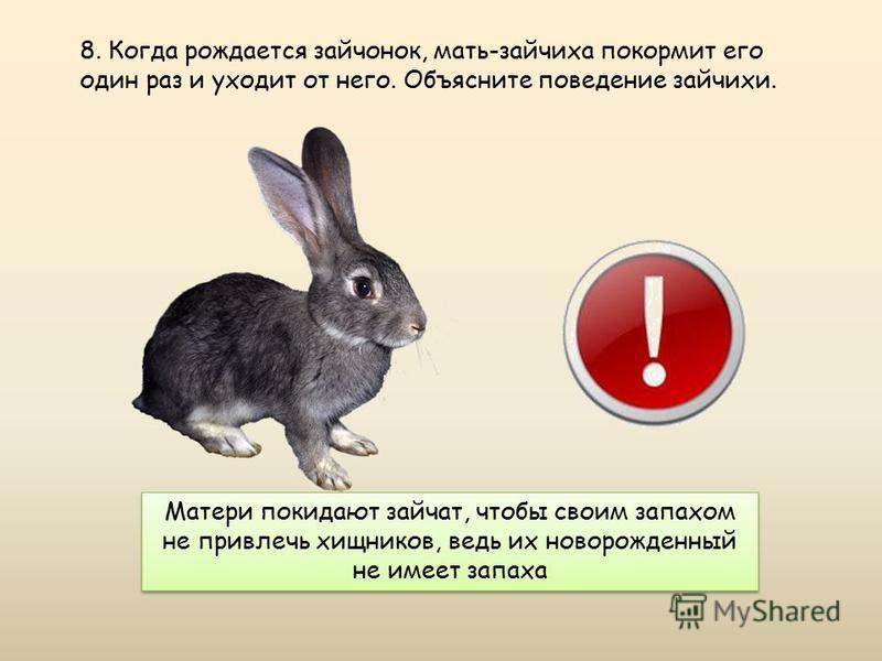 Матери покидают зайчат, чтобы своим запахом не привлечь хищников, ведь их новорожденный не имеет запаха 8. Когда рождается зайчонок, мать-зайчиха покормит его один раз и уходит от него. Объясните поведение зайчихи.