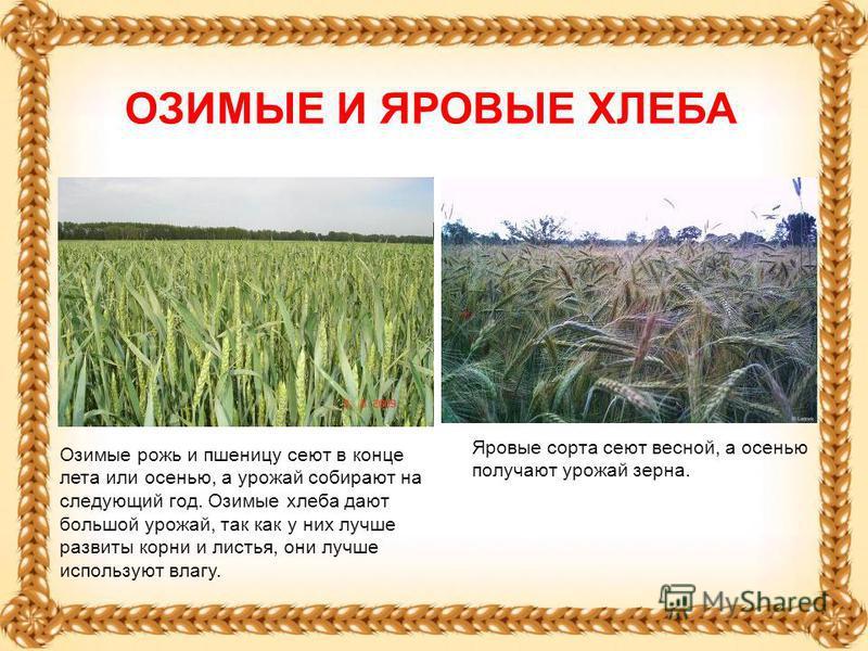 Озимые рожь и пшеницу сеют в конце лета или осенью, а урожай собирают на следующий год. Озимые хлеба дают большой урожай, так как у них лучше развиты корни и листья, они лучше используют влагу. Яровые сорта сеют весной, а осенью получают урожай зерна