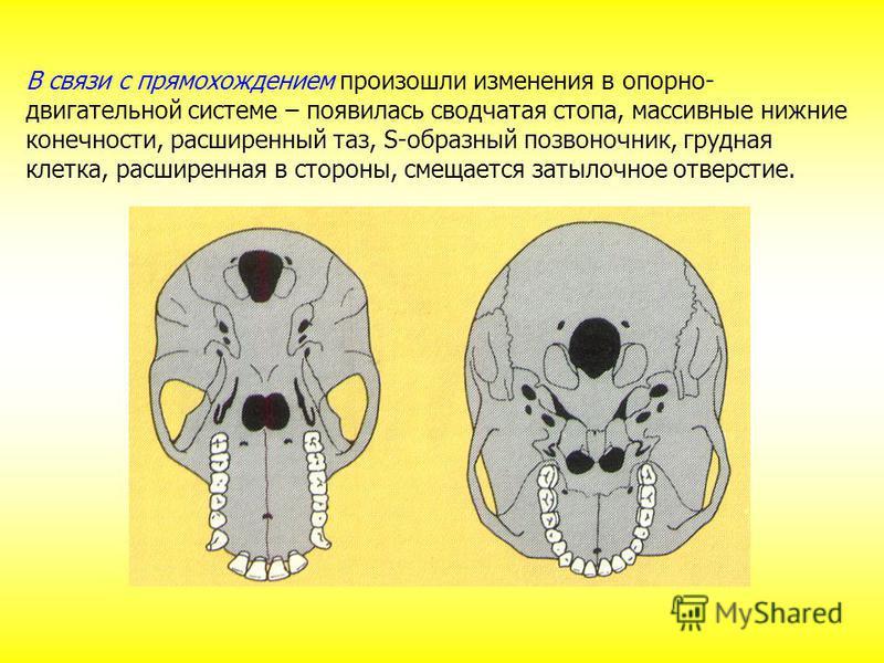 В связи с прямохождением произошли изменения в опорно- двигательной системе – появилась сводчатая стопа, массивные нижние конечности, расширенный таз, S-образный позвоночник, грудная клетка, расширенная в стороны, смещается затылочное отверстие.