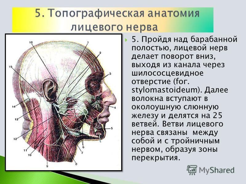 5. Пройдя над барабанной полостью, лицевой нерв делает поворот вниз, выходя из канала через шилососцевидное отверстие (for. stylomastoideum). Далее волокна вступают в околоушную слюнную железу и делятся на 25 ветвей. Ветви лицевого нерва связаны межд