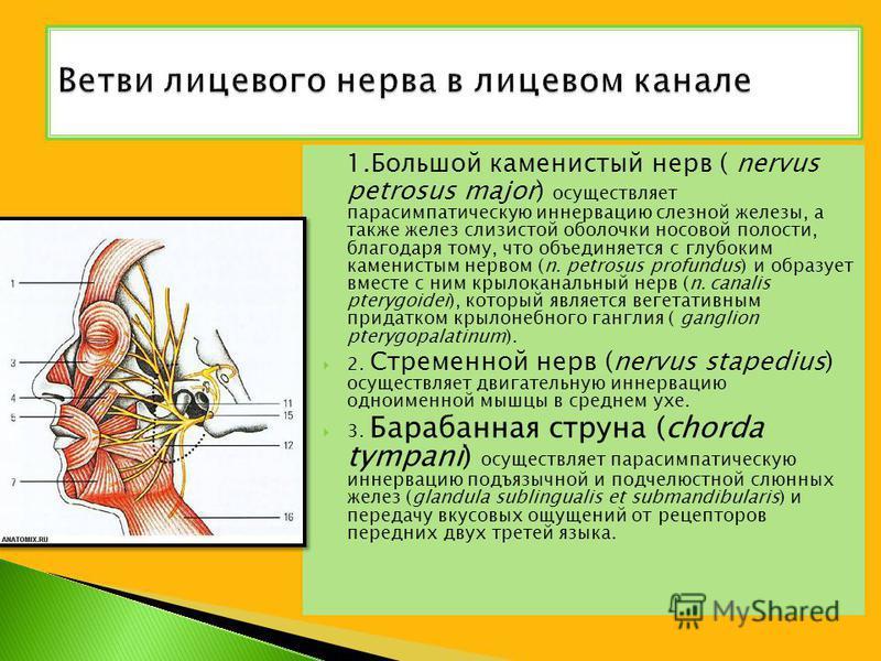 1. Большой каменистый нерв ( nervus petrosus major) осуществляет парасимпатическую иннервацию слезной железы, а также желез слизистой оболочки носовой полости, благодаря тому, что объединяется с глубоким каменистым нервом (n. petrosus profundus) и об