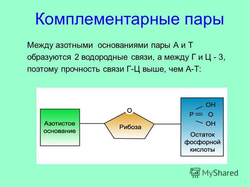 Между азотными основаниями пары А и Т образуются 2 водородные связи, а между Г и Ц - 3, поэтому прочность связи Г-Ц выше, чем А-Т: Комплементарные пары