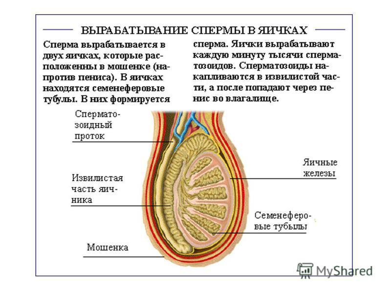 Эпидидимис