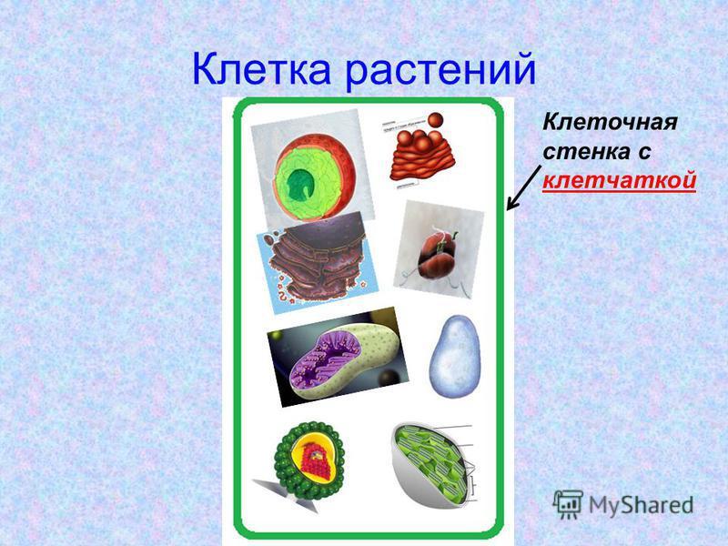 Клетка растений Клеточная стенка с клетчаткой