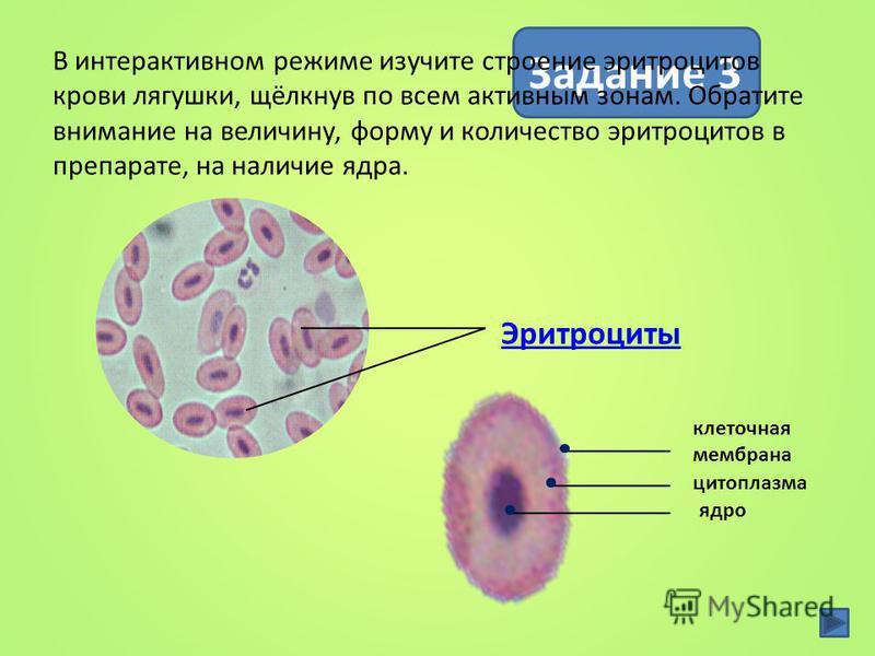 Особенности строения эритроцитов связаны с их функциями 74