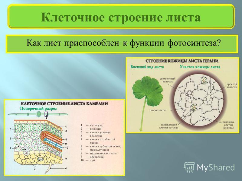 Как лист приспособлен к функции фотосинтеза ? Клеточное строение листа