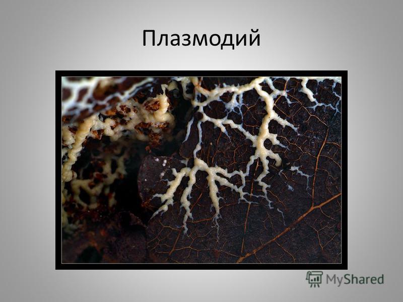 Плазмодий