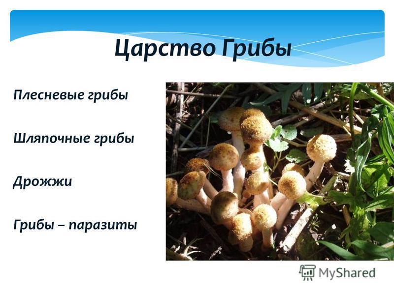 Плесневые грибы Шляпочные грибы Дрожжи Грибы – паразиты Царство Грибы
