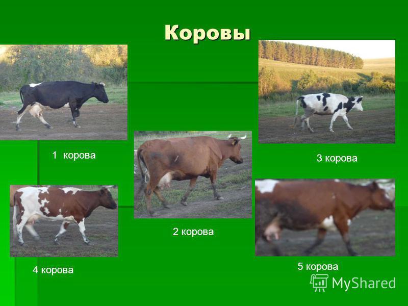 Коровы 1 корова 2 корова 3 корова 4 корова 5 корова