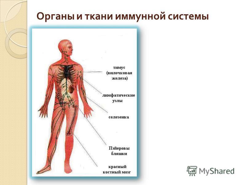 Органы и ткани иммунной системы