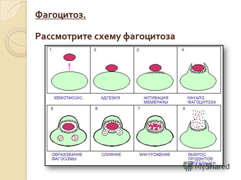 Фагоцитоз. Рассмотрите схему фагоцитоза