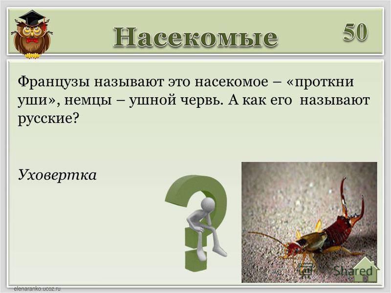 Уховертка Французы называют это насекомое – «проткни уши», немцы – ушной червь. А как его называют русские?