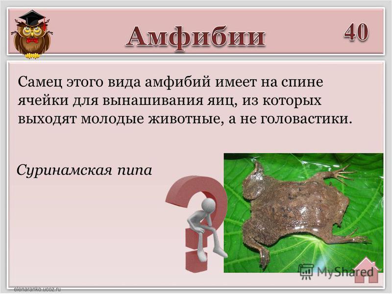 Суринамская пипа Самец этого вида амфибий имеет на спине ячейки для вынашивания яиц, из которых выходят молодые животные, а не головастики.