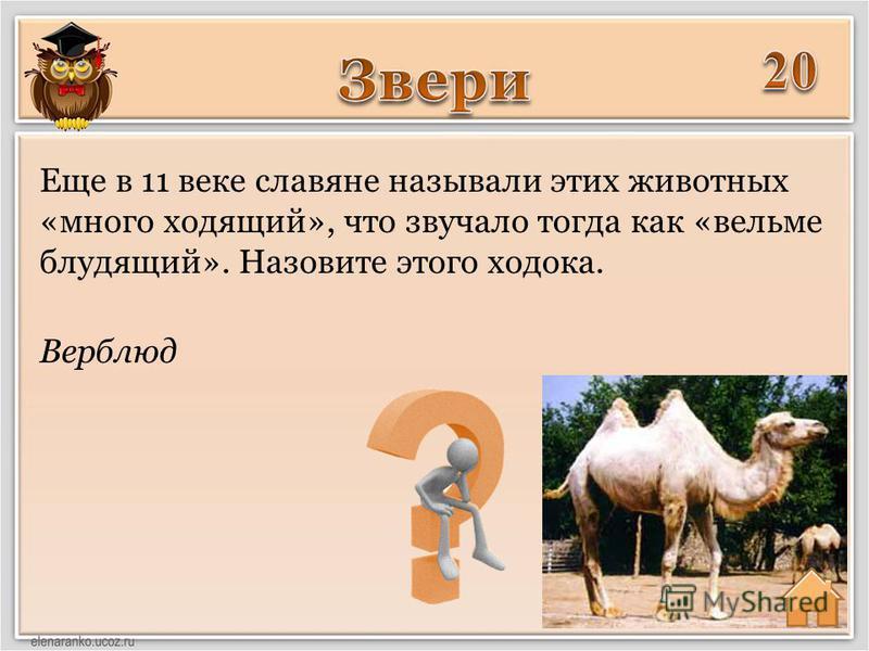 Верблюд Еще в 11 веке славяне называли этих животных «много ходящий», что звучало тогда как «вельми блудящий». Назовите этого ходока.