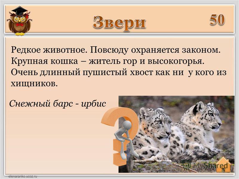 Снежный барс - ирбис Редкое животное. Повсюду охраняется законом. Крупная кошка – житель гор и высокогорья. Очень длинный пушистый хвост как ни у кого из хищников.