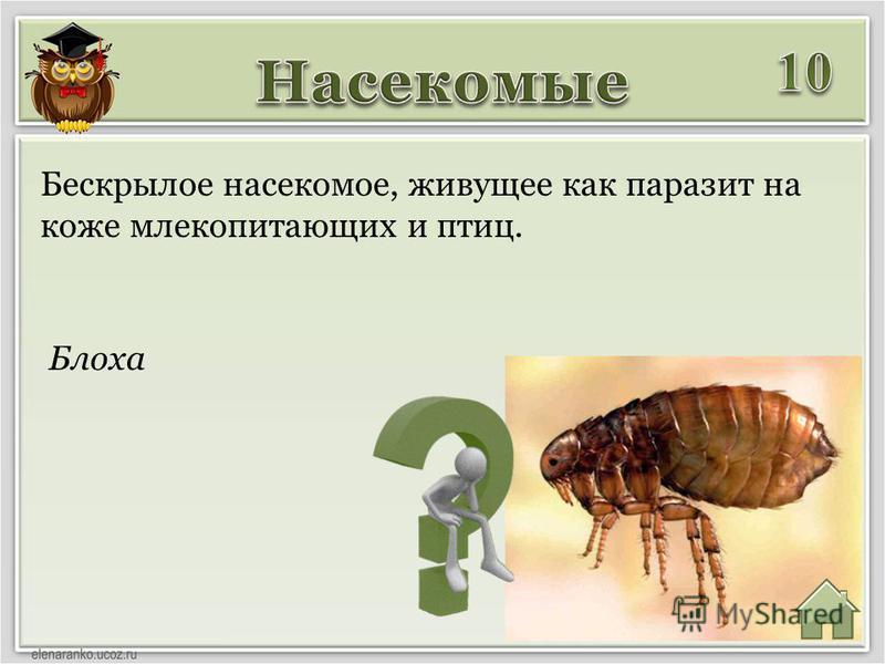 Блоха Бескрылое насекомое, живущее как паразит на коже млекопитающих и птиц.