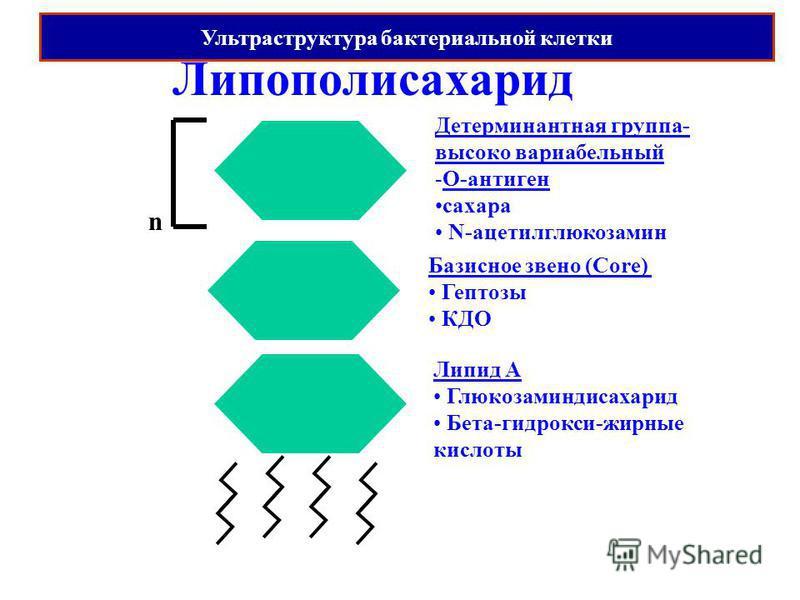 Липополисахарид Липид А Глюкозаминдисахарид Бета-гидрокси-жирные кислоты Базисное звено (Core) Гептозы КДО Детерминантная группа- высоко вариабельный -O-антиген сахара N-ацетилглюкозамин n Ультраструктура бактериальной клетки
