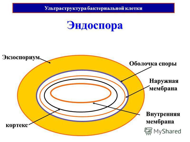 кортекс Эндоспора Экзоспориум Оболочка споры Внутренняямембрана Наружная мембрана Ультраструктура бактериальной клетки