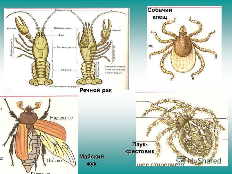 Речной рак Майский жук Паук- крестовик Собачий клещ