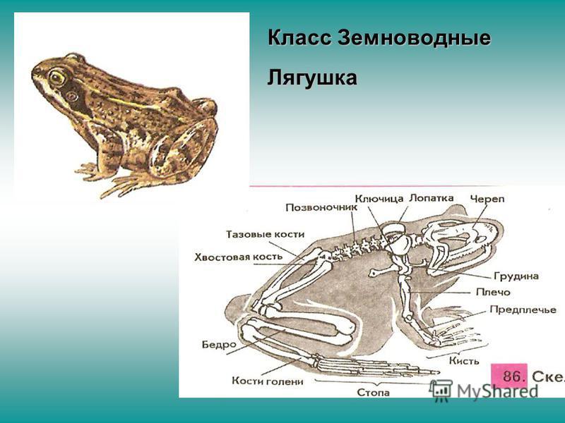 Класс Земноводные Лягушка