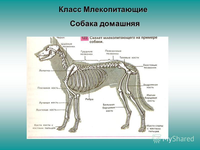 Класс Млекопитающие Собака домашняя