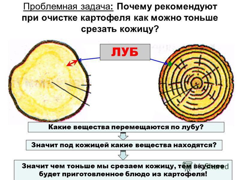 Проблемная задача: Почему рекомендуют при очистке картофеля как можно тоньше срезать кожицу? ЛУБ Какие вещества перемещаются по лубу? Значит под кожицей какие вещества находятся? Значит чем тоньше мы срезаем кожицу, тем вкуснее будет приготовленное б