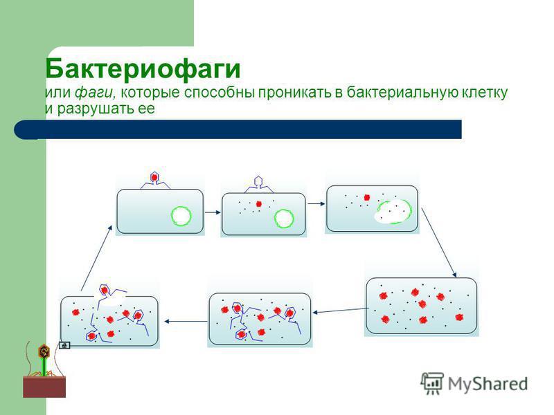 Бактериофаги или фаги, которые способны проникать в бактериальную клетку и разрушать ее