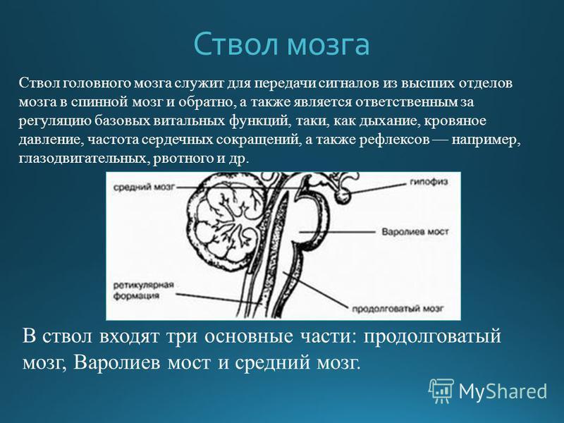 Ствол мозга Ствол головного мозга служит для передачи сигналов из высших отделов мозга в спинной мозг и обратно, а также является ответственным за регуляцию базовых витальных функций, таки, как дыхание, кровяное давление, частота сердечных сокращений