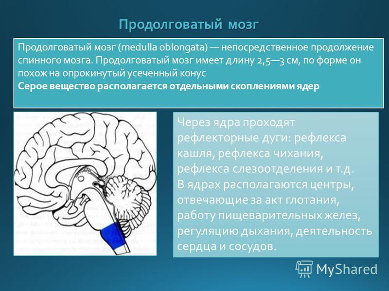 Продолговатый мозг Продолговатый мозг (medulla oblongata) непосредственное продолжение спинного мозга. Продолговатый мозг имеет длину 2,53 см, по форме он похож на опрокинутый усеченный конус Серое вещество располагается отдельными скоплениями ядер Ч