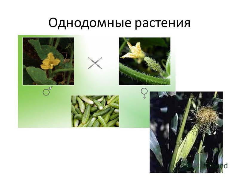 Однодомные растения