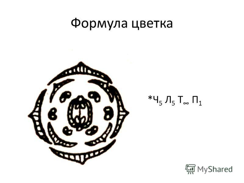 Формула цветка *Ч 5 Л 5 Т П 1