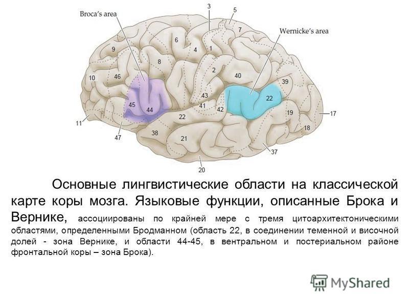 Основные лингвистические области на классической карте коры мозга. Языковые функции, описанные Брока и Вернике, ассоциированы по крайней мере с тремя цитоархитектоническими областями, определенными Бродманном (область 22, в соединении теменной и висо