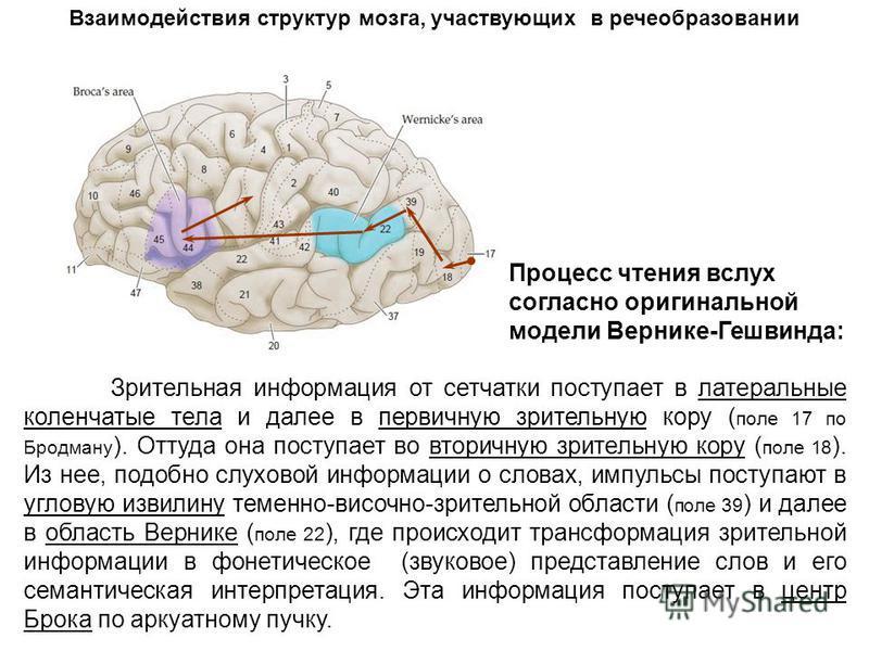 Зрительная информация от сетчатки поступает в латеральные коленчатые тела и далее в первичную зрительную кору ( поле 17 по Бродману ). Оттуда она поступает во вторичную зрительную кору ( поле 18 ). Из нее, подобно слуховой информации о словах, импуль