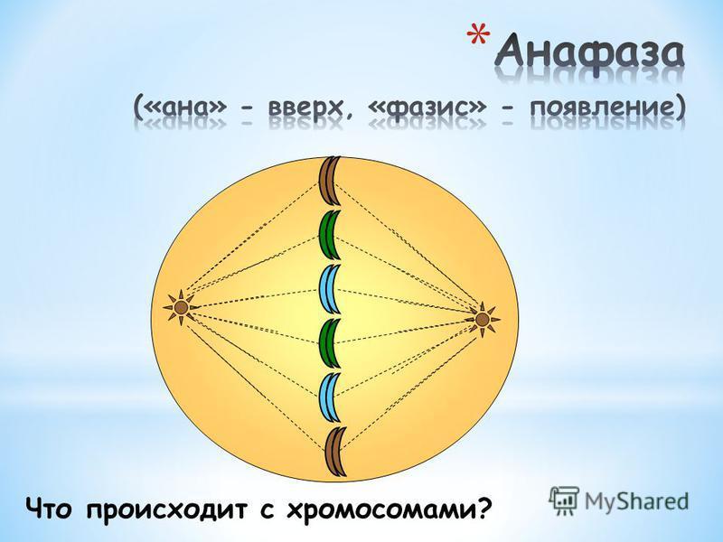 Как располагаются хромосомы?