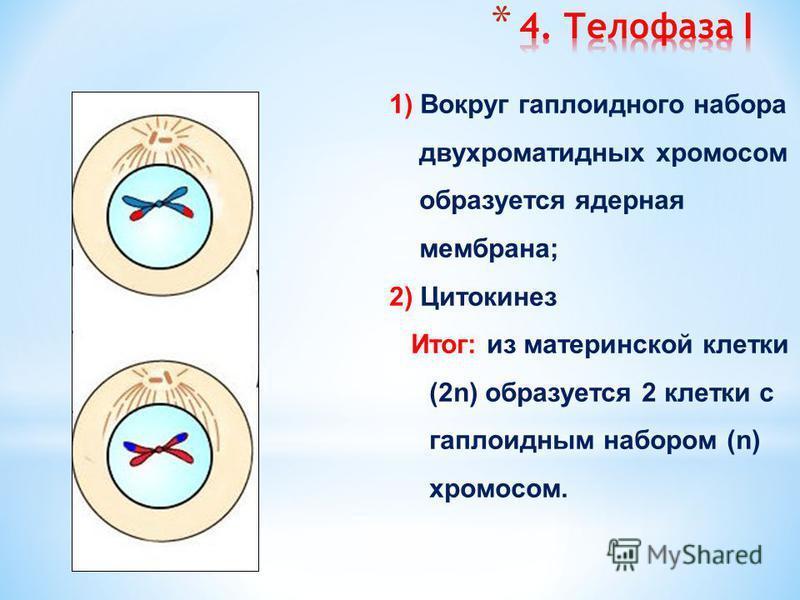 1) Не происходит деления центромер; 2) Нити веретена деления сокращаются и растаскивают за центромеры хромосомы к полюсам клетки (независимое расхождение) перекомбинация отцовского и материнского генетического материала источник изменчивости