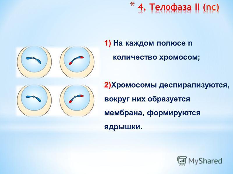 1) Деления центромеры, хроматиды становятся самостоятельными хромосомами (сестринские); 2) Нити веретена деления сокращаются и растаскивают за центромеры хромосомы к противоположным полюсам.