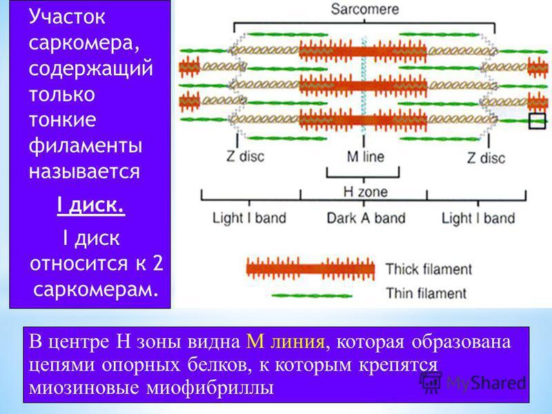 * Саркомер ограничен двумя белковыми структурами, которые называются Z пластинки. * Участки саркомера содержащие толстые филаменты называется А-диски (анизотропные). В центре А-диска видна светлая H зона, содержащая только тонкие филаменты и тонкая М